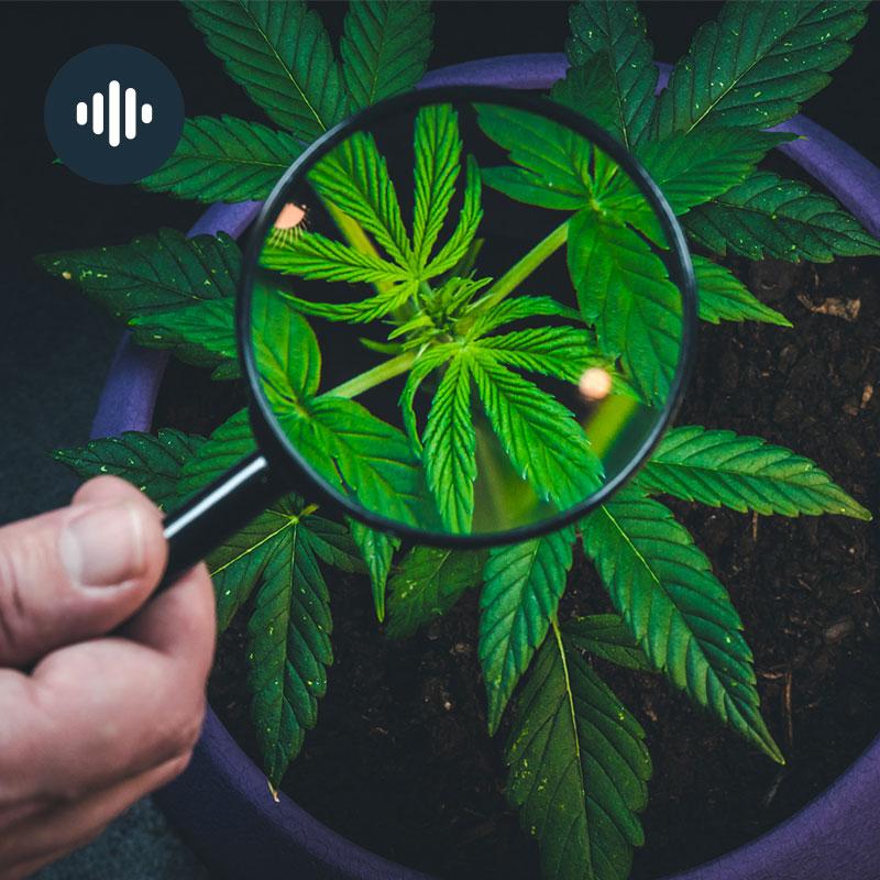 Tout savoir sur le cannabis